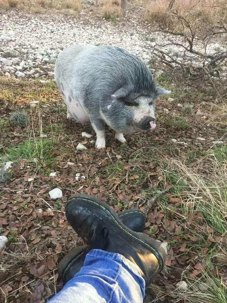 During a pre-dawn stop Tuesday, Animal Care Services officers finally took in Buttercup, the pot-bellied pig that had been wandering Cathedral Rock Park, near Leon Valley, for two months. ACS officers had been unsuccessful on three tries using ropes and traps. They were able to entice the pig into a pen after she ate 20 powdered mini-donuts and one marshmallow. Photo: Courtesy Photo /Animal Care Services
