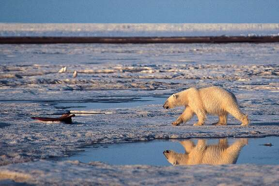 """This undated file photo provided by Subhankar Banerjee shows a polar bear in the Arctic National Wildlife Refuge in Alaska. Federal wildlife biologist Charles Monnett, whose observation that polar bears likely drowned in the Arctic helped galvanize the global warming movement, was placed on administrative leave as officials investigate him for scientific misconduct. Investigators¿ questions have focused on a 2004 journal article that Monnett wrote about the bears, said thePublic Employees for Environmental Responsibility group that is representing him. Monnett was told July 18 that he was being put on leave, pending an investigation into """"integrity issues."""" (AP Photo/Subhankar Banerjee, File)"""