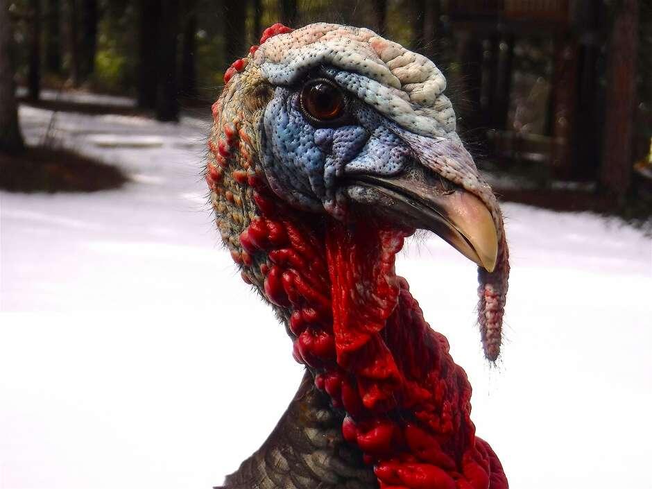 Turkeys take over santa rosa street sfchronicle malvernweather Choice Image