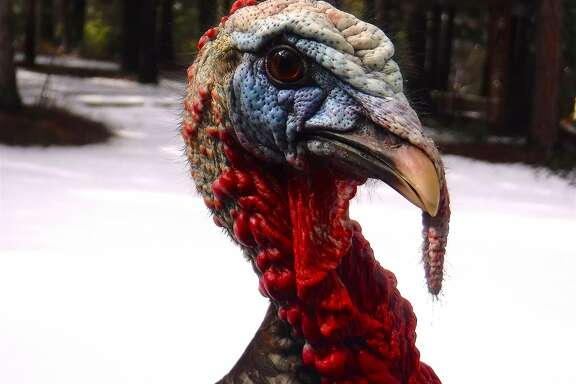An inflamed wild turkey at point-blank range after it attacked the photographer