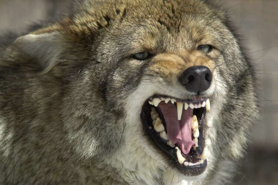 Coyote hunting season in Connecticut runs from Jan. 2 to Dec. 30. Photo: ROBERT F. BUKATY / AP / AP