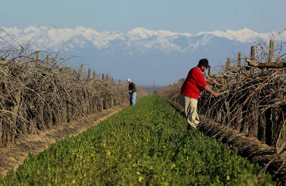 Umberto de Santiago, (right) pruning grape vines on Tuesday Jan. 31, 2017 in Visalia, Ca. Photo: Michael Macor, The Chronicle