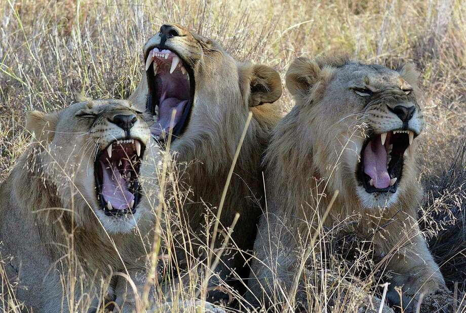 A poacher was reportedly killed and devoured over the weekend by several lions in a game park outside of Kruger National Park, South Africa. Photo: Kevin Anderson, STR / Copyright 2017 The Associated Press. All rights reserved.