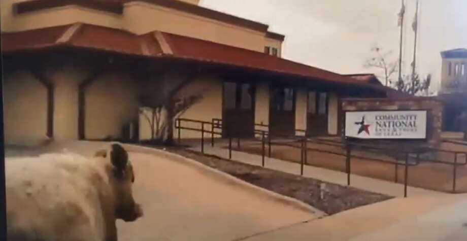The Weatherford Police Department, in North Texas, posted a video to Facebook on Friday that showed a chase through the town on Thursday, Feb. 2, 2017, that involved a cow and a couple of cowboys. It has been viewed more than 3.2 million times since its initial posting. Photo: Courtesy Weatherford Police Department