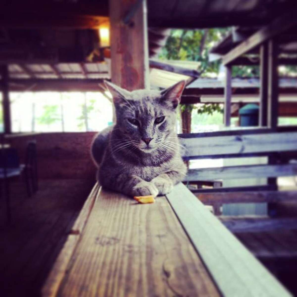 Chip, one of the feral cats that lives at Tin Roof BBQ in Atascocita.