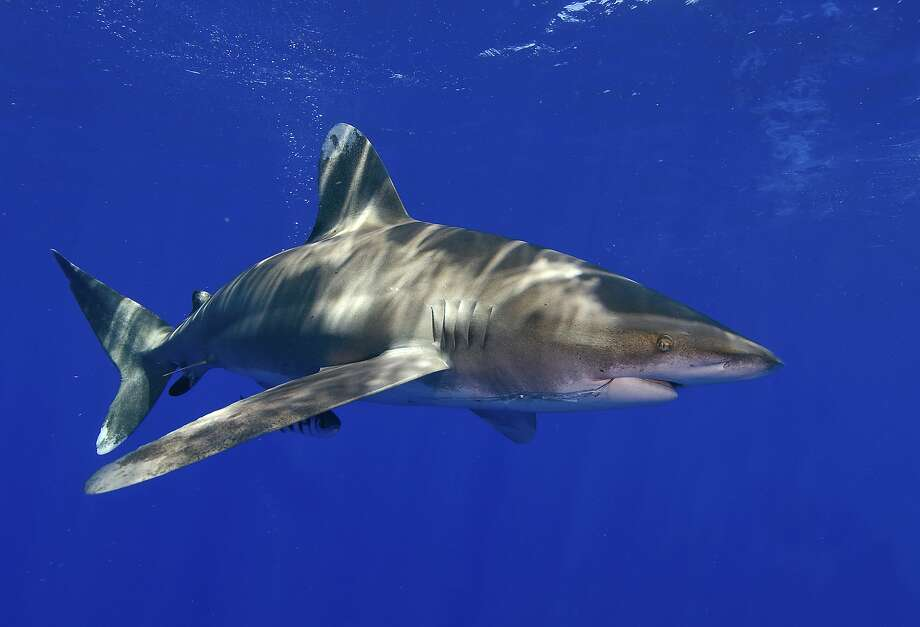The whitetip shark, whose fins are prized in soup, is likely to become endangered, the National Marine Fisheries Service says. Photo: Neil Hammerschlag, Associated Press