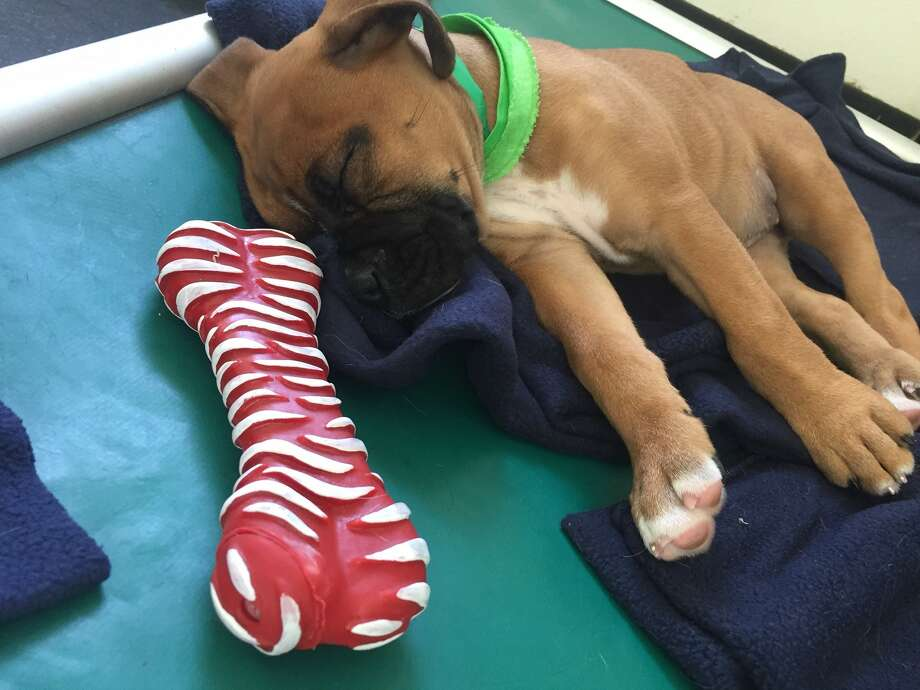 Meadowlake Pet Resort near Highway 288 held its own Puppy Bowl in honor of Super Bowl 51. We think these tired players are a lot cuter than real football players. Photo: Meadowlake Pet Resort