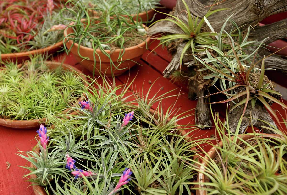 A large selection of tropical air plants from Evergreen Garden.