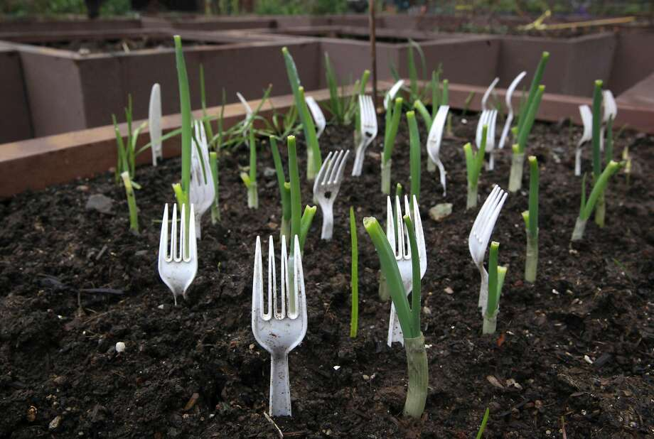 Plastic forks keep intruders away at the Alice Street Community Garden in downtown San Francisco, Ca. on Tuesday Feb. 7, 2017. Another community garden is set to be added to the list of nearly fifty, as the city  prepares to open Geneva Community Garden. Photo: Michael Macor, The Chronicle