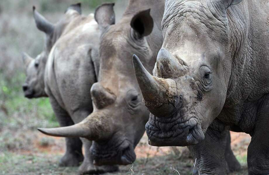 A local businessman paid $250,000 to hunt rhinos. Photo: TONY KARUMBA, Stringer / AFP or licensors
