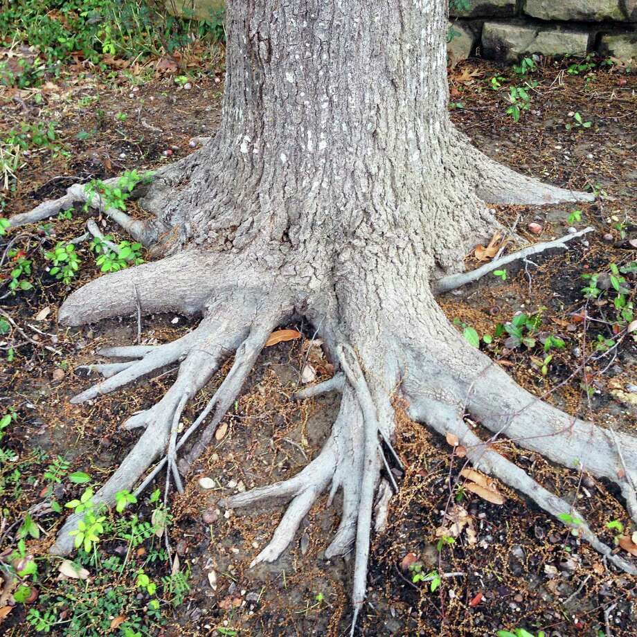 Trees have 90 percent of their roots in the top foot of soil. As the tree grows larger, so do its limbs and so do the roots. Initially they may have been only 3 or 4 inches below the surface, but they gradually grow up and out of the soil. Erosion is very seldom a factor. Photo: Courtesy Photo