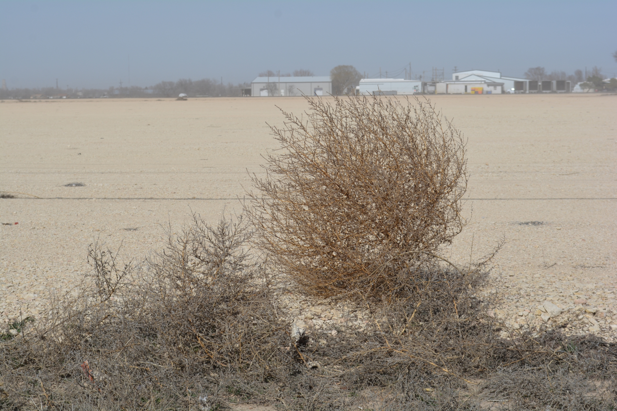 Video Catches Hundreds Of Tumbleweeds Crossing Texas Road