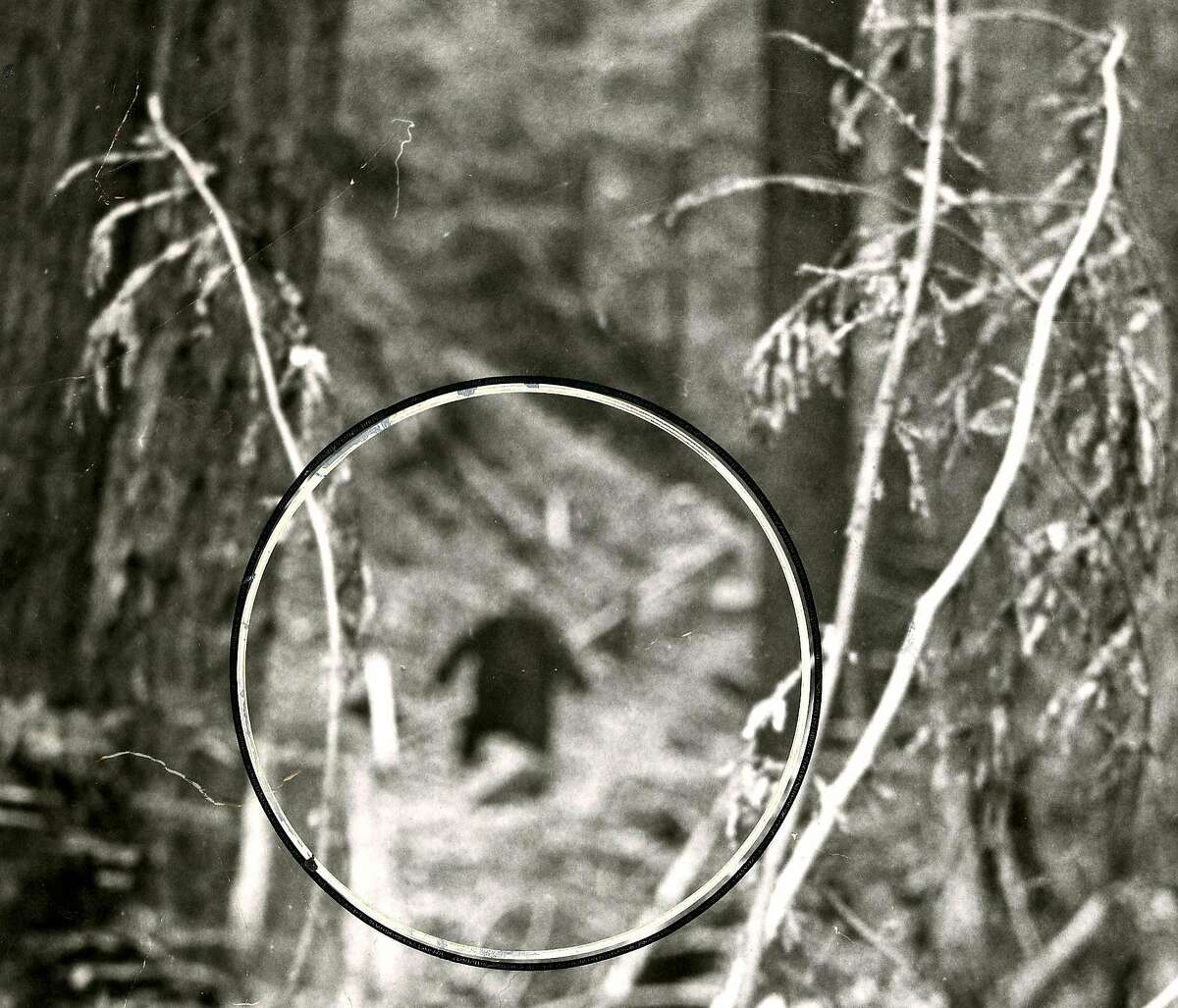 A still image of a purported Bigfoot from the San Francisco Chronicle archives.
