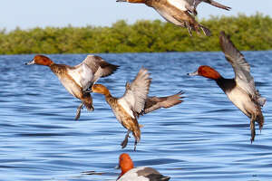 Texas' annual midwinter duck survey conducted in January estimated the  state held 851,000 redhead ducks, the most recorded in the 21-year history  of the current survey methodology and more than 65 percent of North America's redheads.
