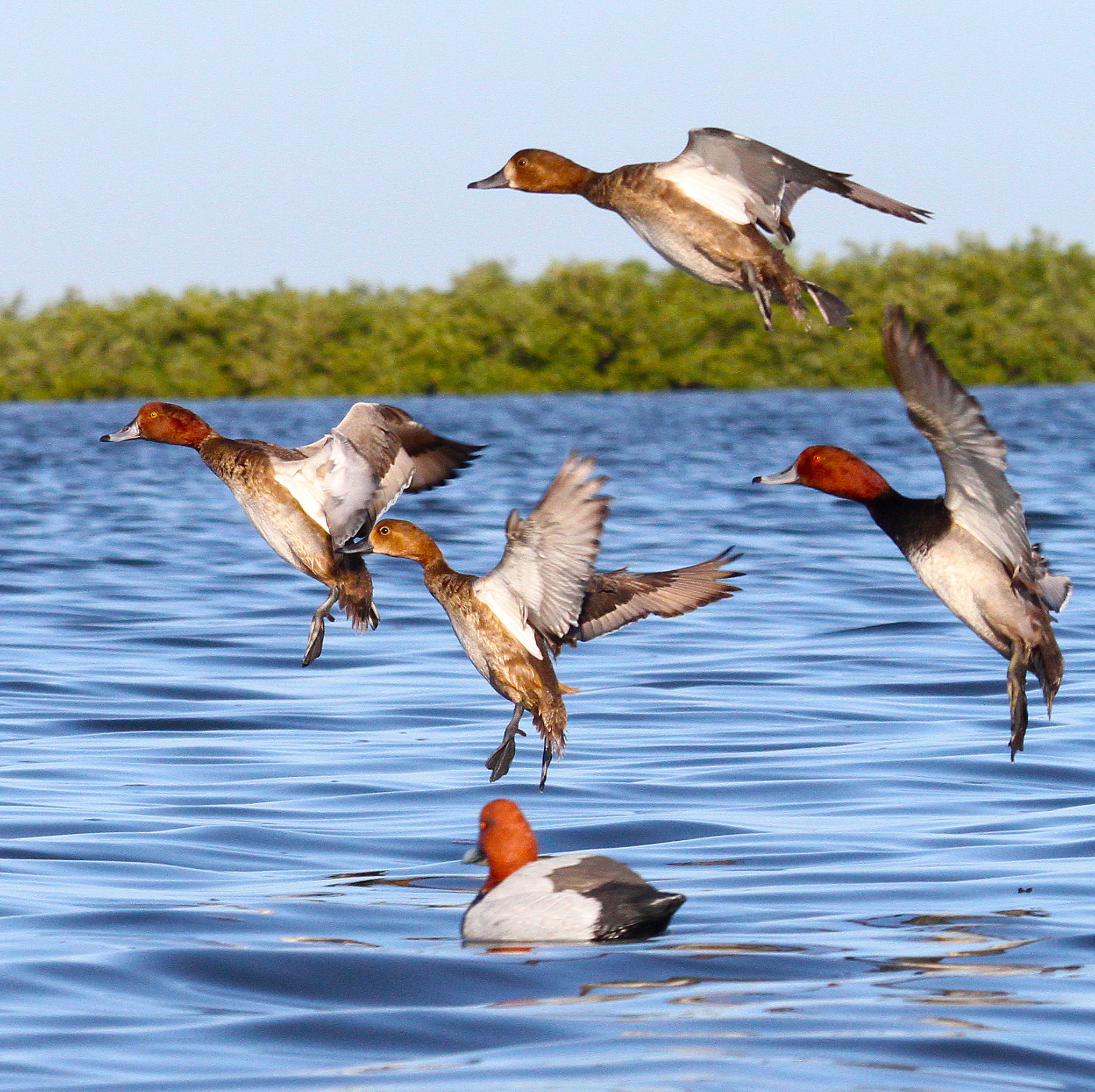 Survey confirms texas duck population soaring houston chronicle sciox Choice Image