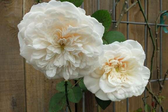 The white tea rose 'Sombreuil'