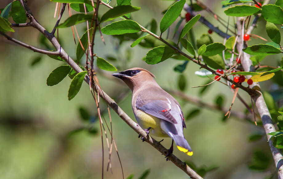 Area shrubs with berries attract large congregations of cedar waxwings in mid to late winter.  Photo Credit:  Kathy Adams Clark.  Restricted use. Photo: Kathy Adams Clark / Kathy Adams Clark/KAC Productions