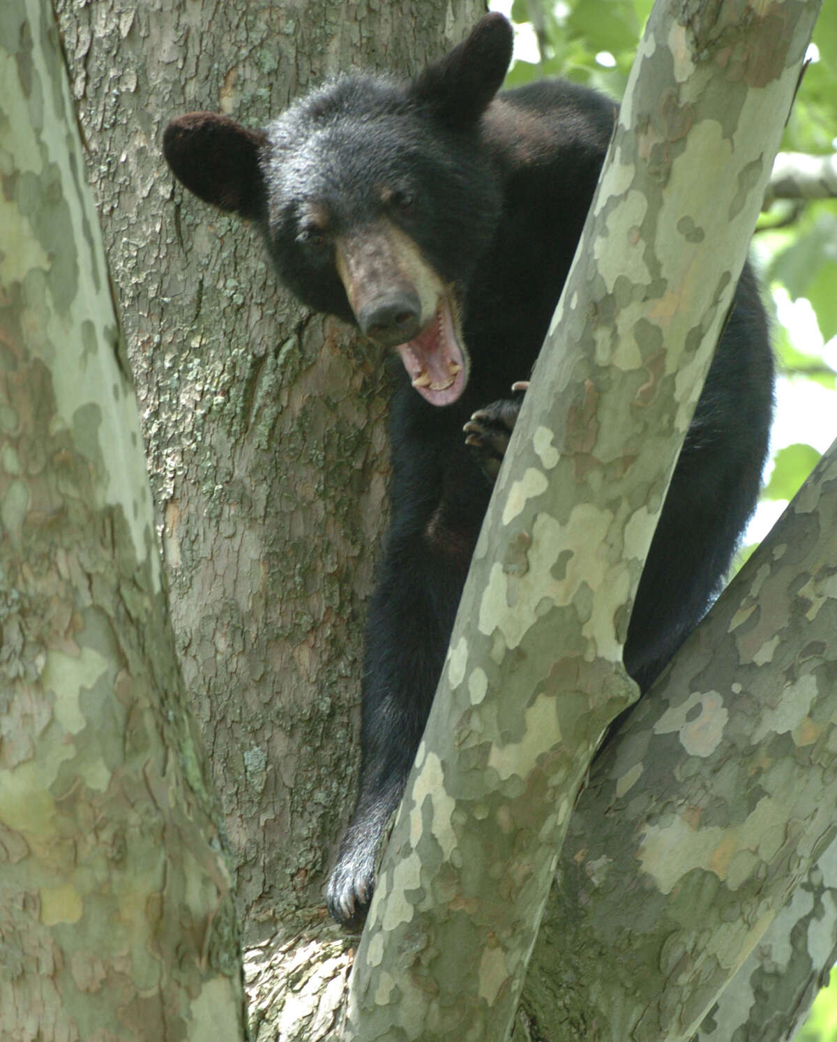 A young black bear sits in a tree in Albany in 2004. While reports of bear sightings have been flooding Facebook and other aps, experts say their numbers aren't increasing, rather people are spending more time in the bears' environment and noticing them more. (Times Union archive)