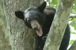 A young black bear sits in a tree in Albany in 2004. (Times Union archive)