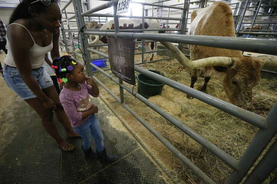 Aryanna Heywood, 4, timidly approaches near the pen of a Longhorn steer while she and her family toured the animal barns at the 2017 San Antonio Stockshow and Rodeo on Saturday, Feb. 11, 2017. It was the first time the little girl had ever seen Longhorn cattle. The first weekend of the stockshow along with the warm weather brought out families to wander the grounds in search of animal adventure. Kids were fascinated by both the exotic and domestic animals that were on display. (Kin Man Hui/San Antonio Express-News) Photo: Kin Man Hui, Staff / San Antonio Express-News / ©2017 San Antonio Express-News