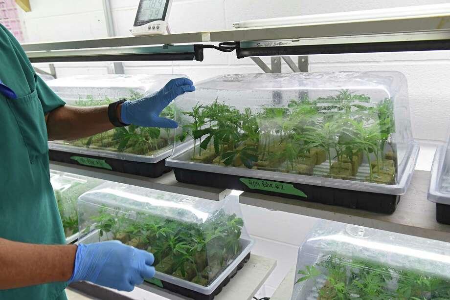 Horticulturalist Chuck Schmitt shows small marijuana plants in the cloning room at the Vireo medical marijuana facility in the Tryon Technology Park on Wednesday, Sept. 21, 2016 in Johnstown, N.Y. (Lori Van Buren / Times Union) Photo: Lori Van Buren / 40038089A