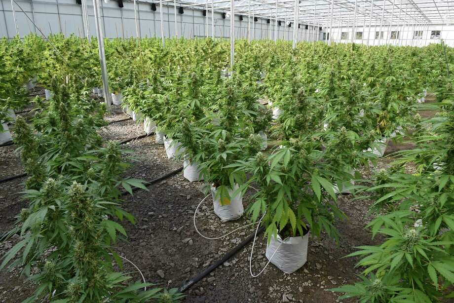 Greenhouse at the Vireo medical marijuana facility in the Tryon Technology Park on Wednesday, Sept. 21, 2016 in Johnstown, N.Y. (Lori Van Buren <a href=