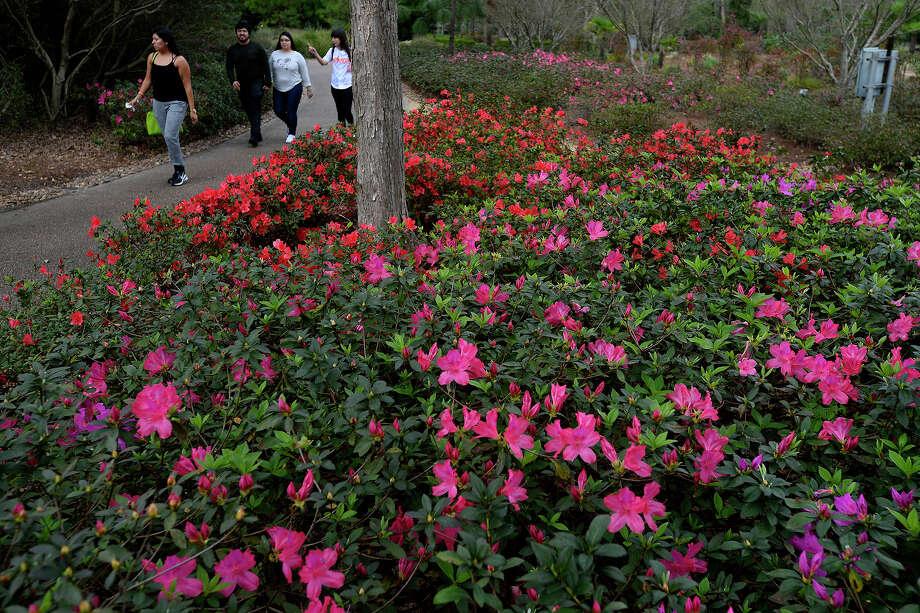 Signs Of Early Spring Show At Shangri La Gardens San Antonio Express News