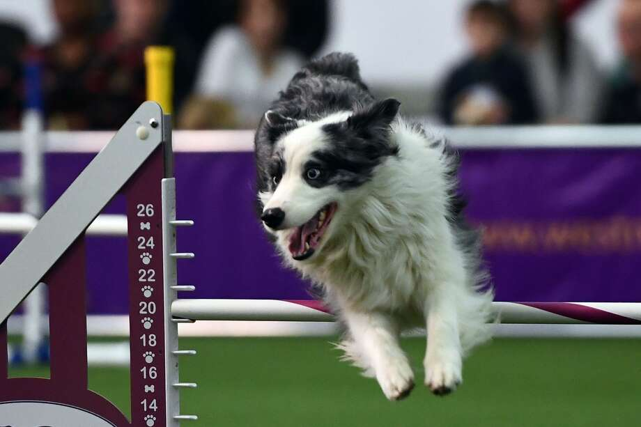 A dog competes during the 4th Annual Masters Agility Championship in New York on February 11, 2017 at the 141st Annual Westminster Kennel Club Dog Show. Photo: JEWEL SAMAD/AFP/Getty Images