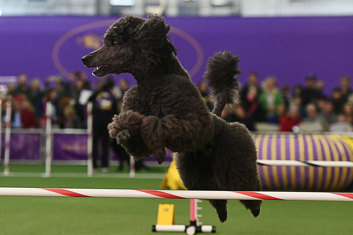 A dog competes during the 4th Annual Masters Agility Championship in New York on February 11, 2017 at the 141st Annual Westminster Kennel Club Dog Show.