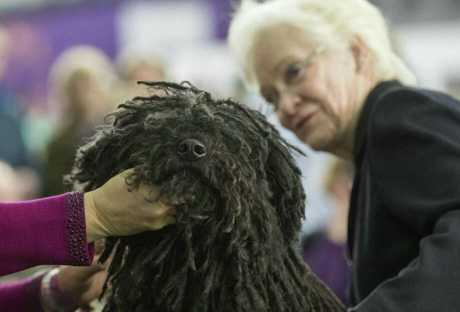 Preston, a puli, is inspected by judge Dorothy Collier in the ring during the 141st Westminster Kennel Club Dog Show on Feb. 13, 2017, in New York. Photo: Mary Altaffer /Associated Press / Copyright 2017 The Associated Press. All rights reserved.