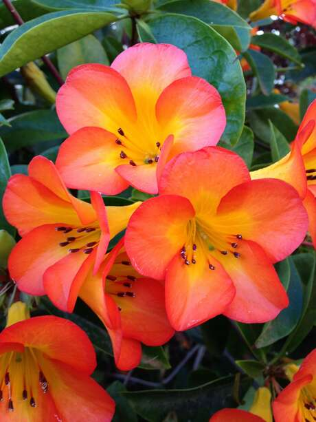 Rhododendrons: Vireya rhododendron. Photo: Pacific Orchid And Garden Exposition