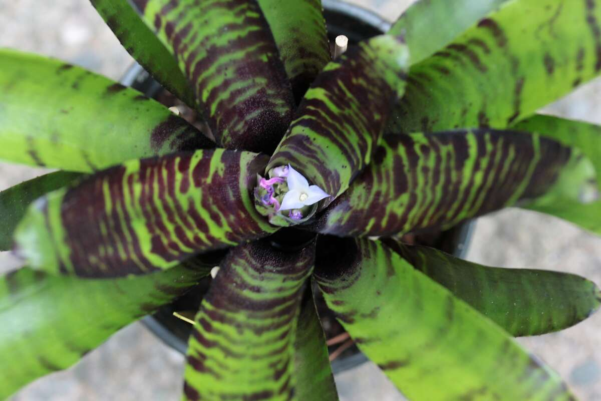 Neoregelia 'Savoy Truffle.' Credit: Pacific Orchid and Garden Exposition