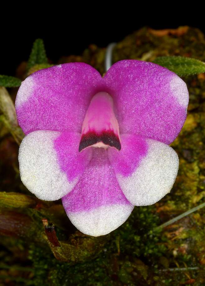 Orchids: Dendrobium cuthbertsonii 'Candy Stripe.' Photo: Pacific Orchid And Garden Exposition