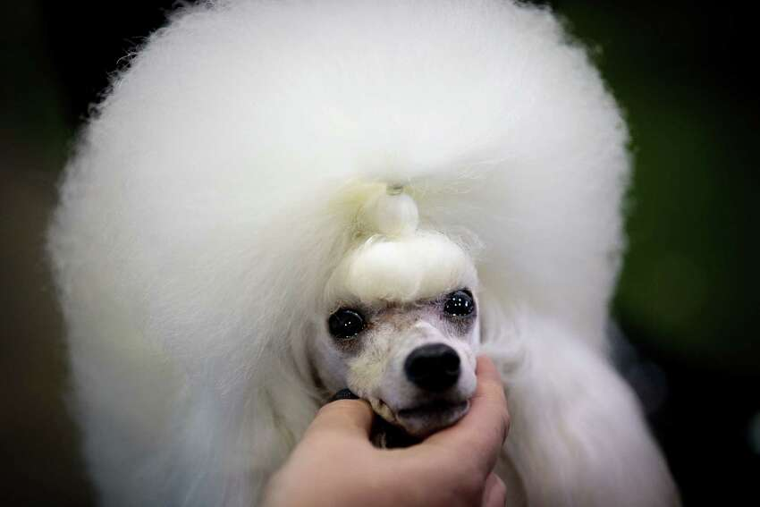 A toy poodle is groomed backstage before competing at the Westminster Kennel Club Dog Show.