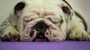 NEW YORK, NY - FEBRUARY 13: A bulldog rests before competing at the 141st Westminster Kennel Club Dog Show, February 13, 2017 in New York City. There are 2874 dogs entered in this show with a total entry of 2908 in 200 different breeds or varieties, including 23 obedience entries.