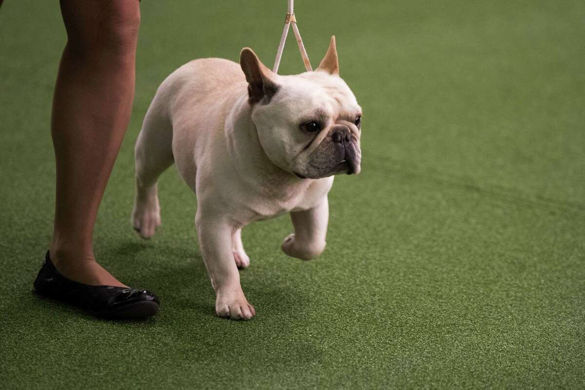NEW YORK, NY - FEBRUARY 13: A French Bulldog runs during competition at the 141st Westminster Kennel Club Dog Show, February 13, 2017 in New York City. There are 2874 dogs entered in this show with a total entry of 2908 in 200 different breeds or varieties, including 23 obedience entries.