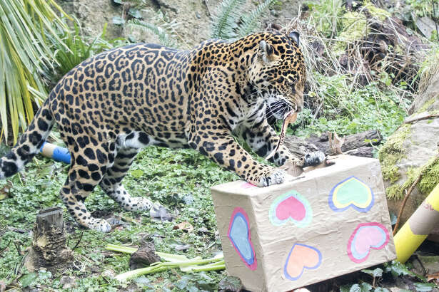 A jaguar checks out some Valentine