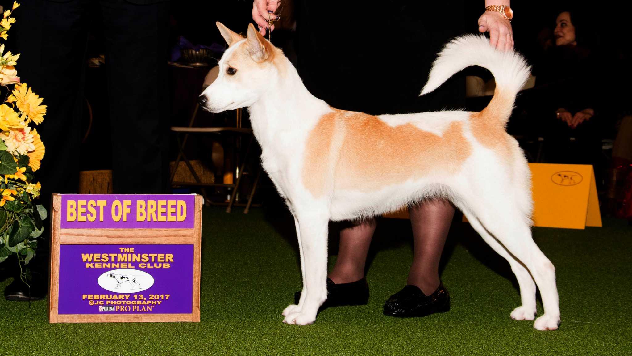 San Antonio dog wins best of breed at Westminster - San
