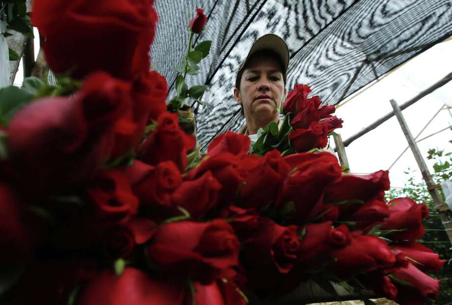 In this Jan. 20, 2017 photo, a worker packs rose buds to be shipped to the United States ahead of Valentine's Day, at the Ayura flower company in Tocancipa, north of Bogota, Colombia. The National Retail Federation projects total U.S. shoppers will spend $18.2 billion on Valentine's Day gifts this year. Photo: Fernando Vergara /Associated Press / Copyright 2017 The Associated Press. All rights reserved.