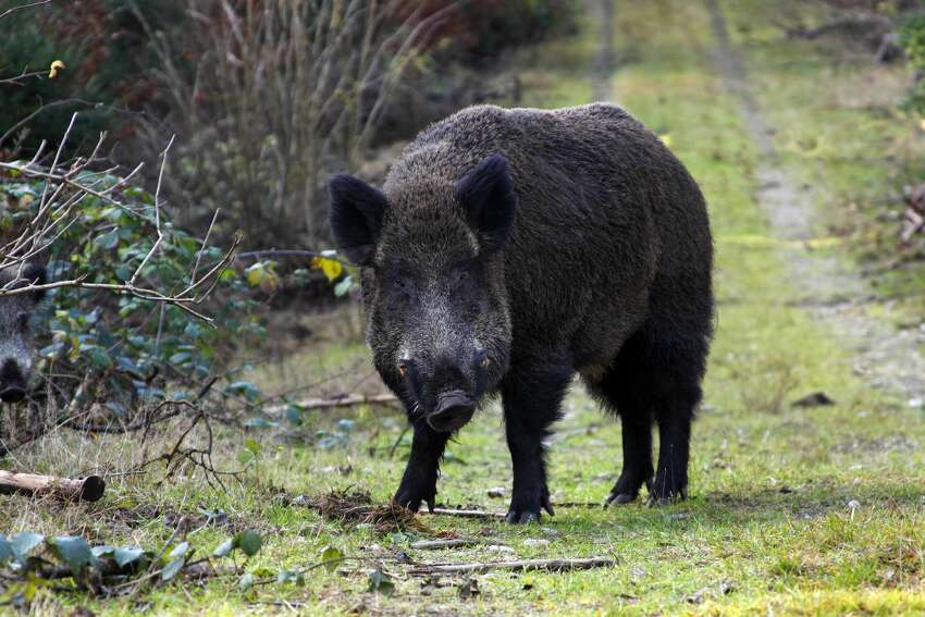 Wild boar If encountered: Move away slowly from the boar. Be calm. If attacked:Climb somewhere at least six feet off the ground. Try not to get knocked off your feet. Most boar attacks on humans last under one minute.  Source: National Parks,Backcountryattitude