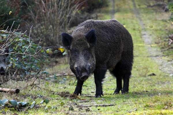 male wild boar (Sus scrofa), tusker in pairing season in autumn forest