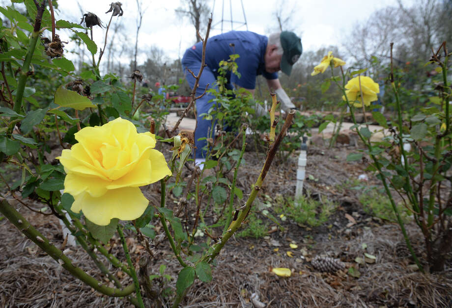 Dale Dardeau trims roses at Tyrrell Park Botanical Garden on Monday. Due to warm weather, several roses have bloomed early at the garden despite.   Photo taken Monday, February 13, 2017 Guiseppe Barranco/The Enterprise Photo: Guiseppe Barranco, Photo Editor