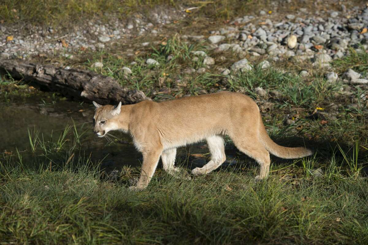Cougar If encountered: Maintain eye-contact with the cougar while slowly moving toward a safer area. Try to appear larger, either by raising your hands overhead or using a jacket. Make noise by whatever means necessary, yell, shout, etc. If attacked: Protect neck and throat. Use any available weapon, even fists, and aim for cougar's face.   Source: Mountaineers Books, Mountainlion.org