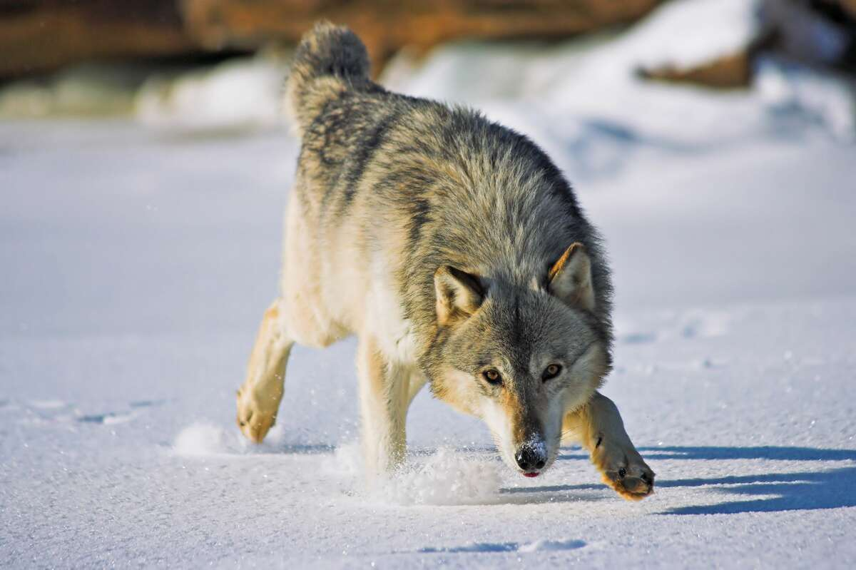Gray wolf If encountered: Don't run or turn your back on the wolf as it will make you appear as prey. Back away slowly, maintain eye contact, throw stones, make noise, and raise arms above head. If attacked: Fight back. If the wolf thinks you are too costly/dangerous to hunt, it will hopefully back away.   Source: Western Wildlife