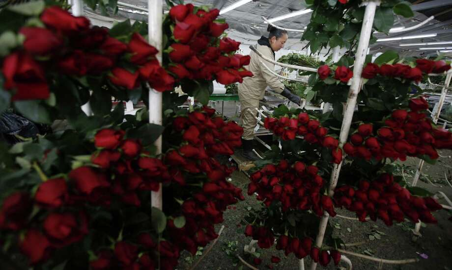 """A worker packs rose buds to be shipped to the United States ahead of Valentine's Day, last month at the Ayura flower company in Tocancipa, north of Bogota, Colombia. This is the busiest time of the year for the country's flower industry, when thousands of people employed at hundreds of flower farms work nonstop to deliver some 500 million stems around the world, but principally the U.S. """"Right now there's not a single rose available,"""" says Augusto Solano, president of Colombia's flower exporters association. Photo: Fernando Vergara /Associated Press / Copyright 2017 The Associated Press. All rights reserved."""