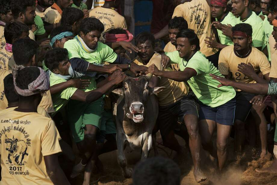 Tamers try to control a bull in the village of Allanganallur, Tamil Nadu state. If tamers control the animal, they win. If a bull can't be tamed, prizes are awarded to the bull's owner. Photo: Bernat Armangue, Associated Press