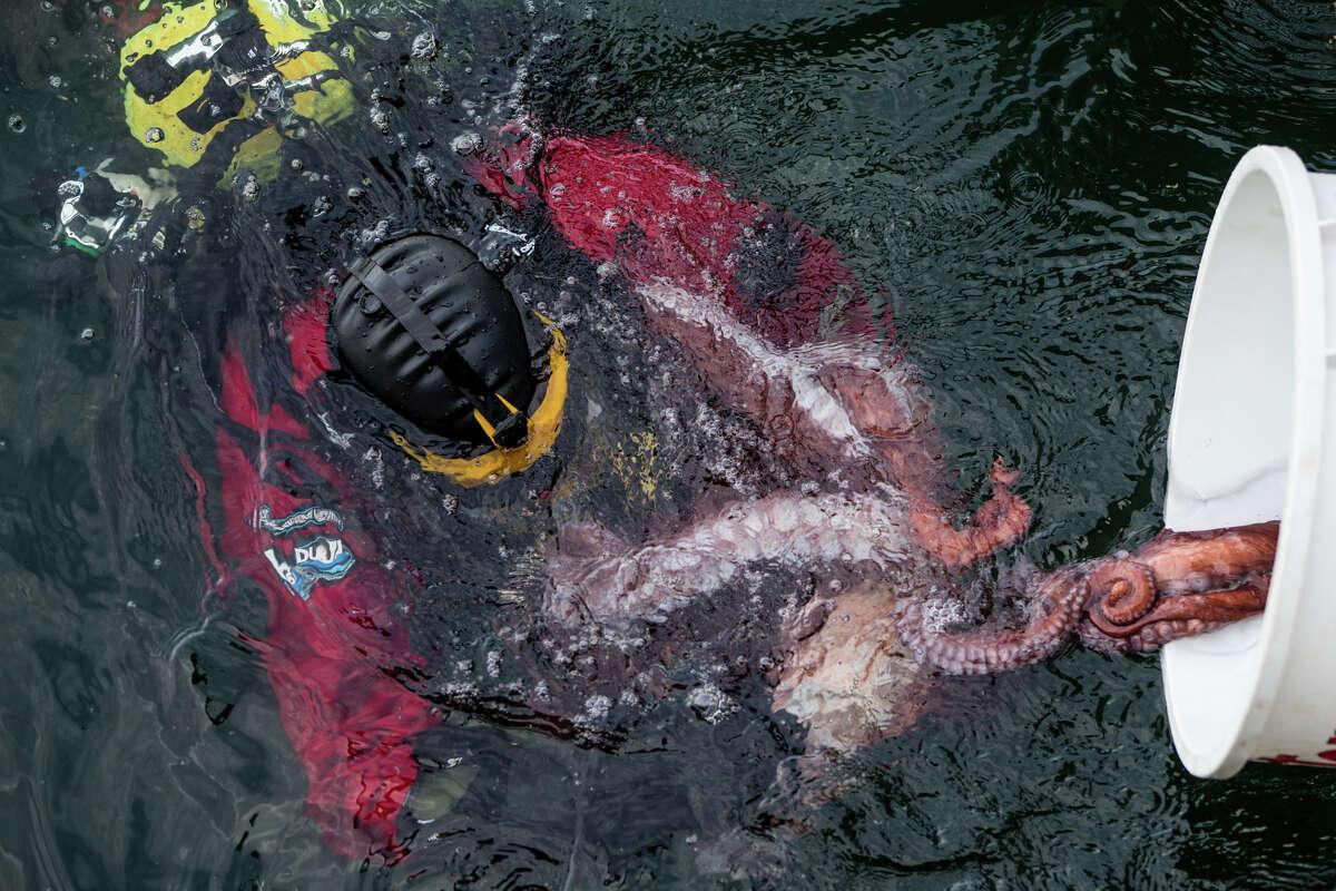 Curator of Fish and Invertebrates Tim Carpenter catches giant Pacific octopus
