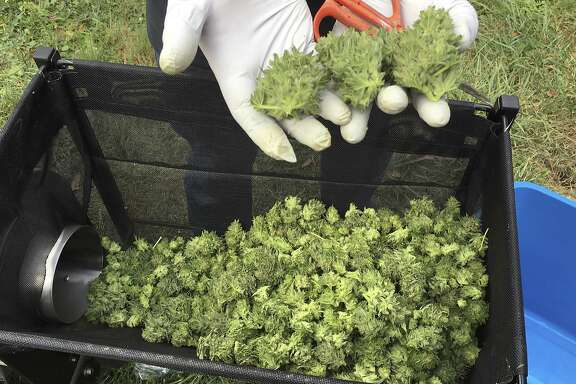 FILE - In this Sept. 30, 2016, a marijuana harvester examines buds from a trimming machine near Corvallis, Ore. As legalized marijuana brings more business to Oregon, some communities are seeing a large amount of cash in the economy thanks to strict regulations keeping banks away from the businesses. (AP Photo/Andrew Selsky, file)