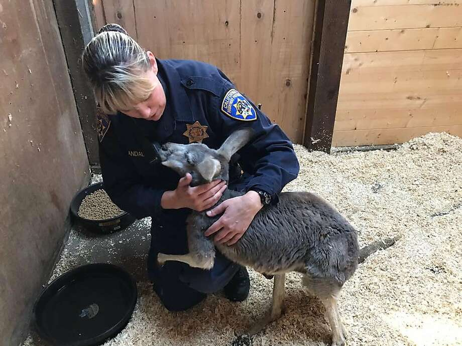 A California Highway Patrol officer plays with a kangaroo in Sutter County on Tuesday. Photo: California Highway Patrol