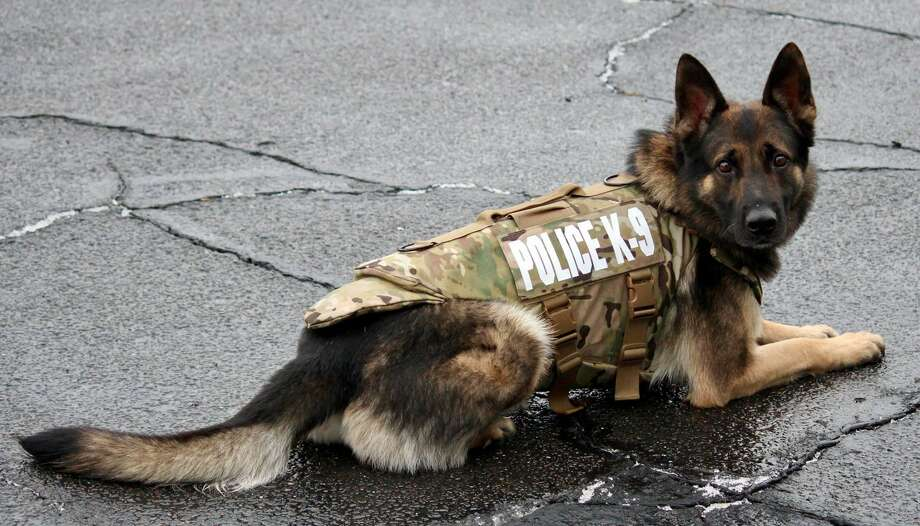 Murphy, Monroe's police dog is now safer from bullet and stab wounds. The police department announced on its Facebook page that Murphy has received a bullet and stab-protective vest thanks to a charitable donation from non-profit organization Vested Interest in K9s, Inc., and manufacturer Armor Express. Photo: Monroe Police Department